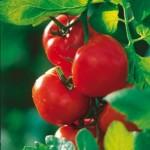 Des tomates qui produisent un vaccin contre Alzheimer