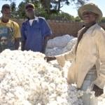 Le coton comestible : la fin de la faim dans le monde ?